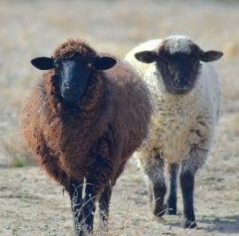 Sheep- square